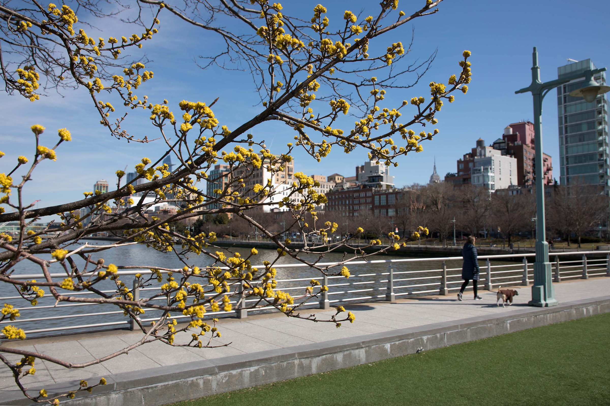 Yellow dogwood trees line Pier 46