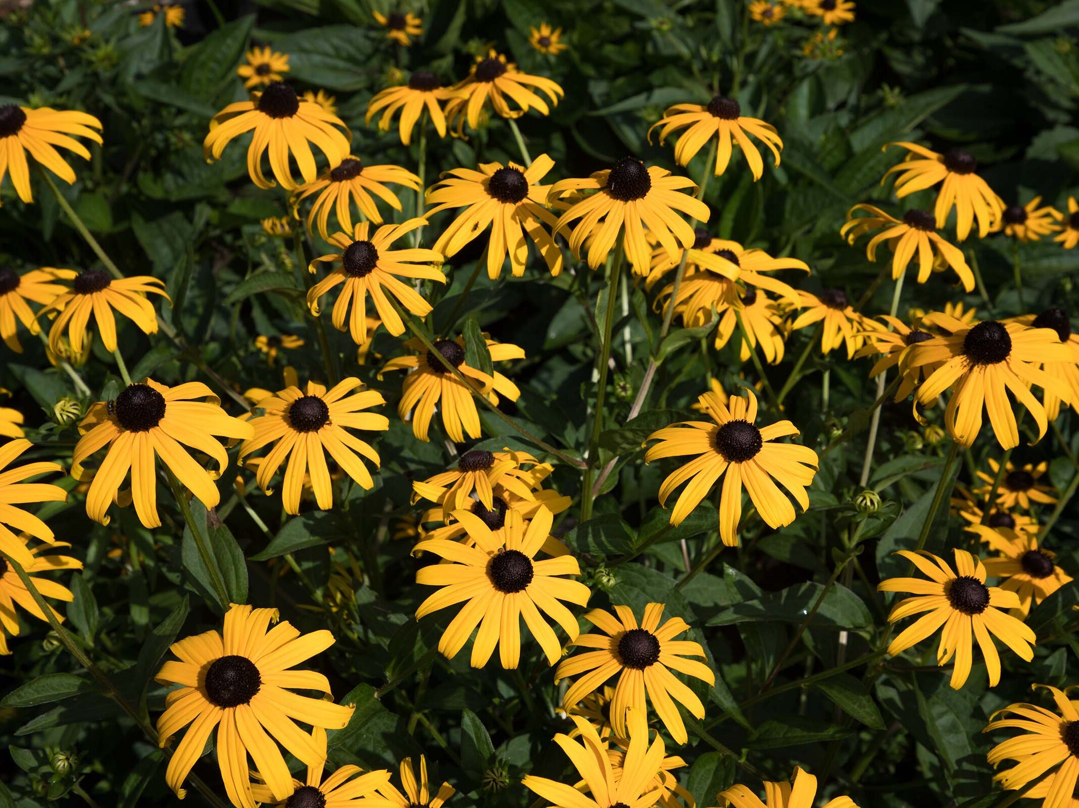 Yellow black eyed susans flowers stare at the sun in Hudson River Park