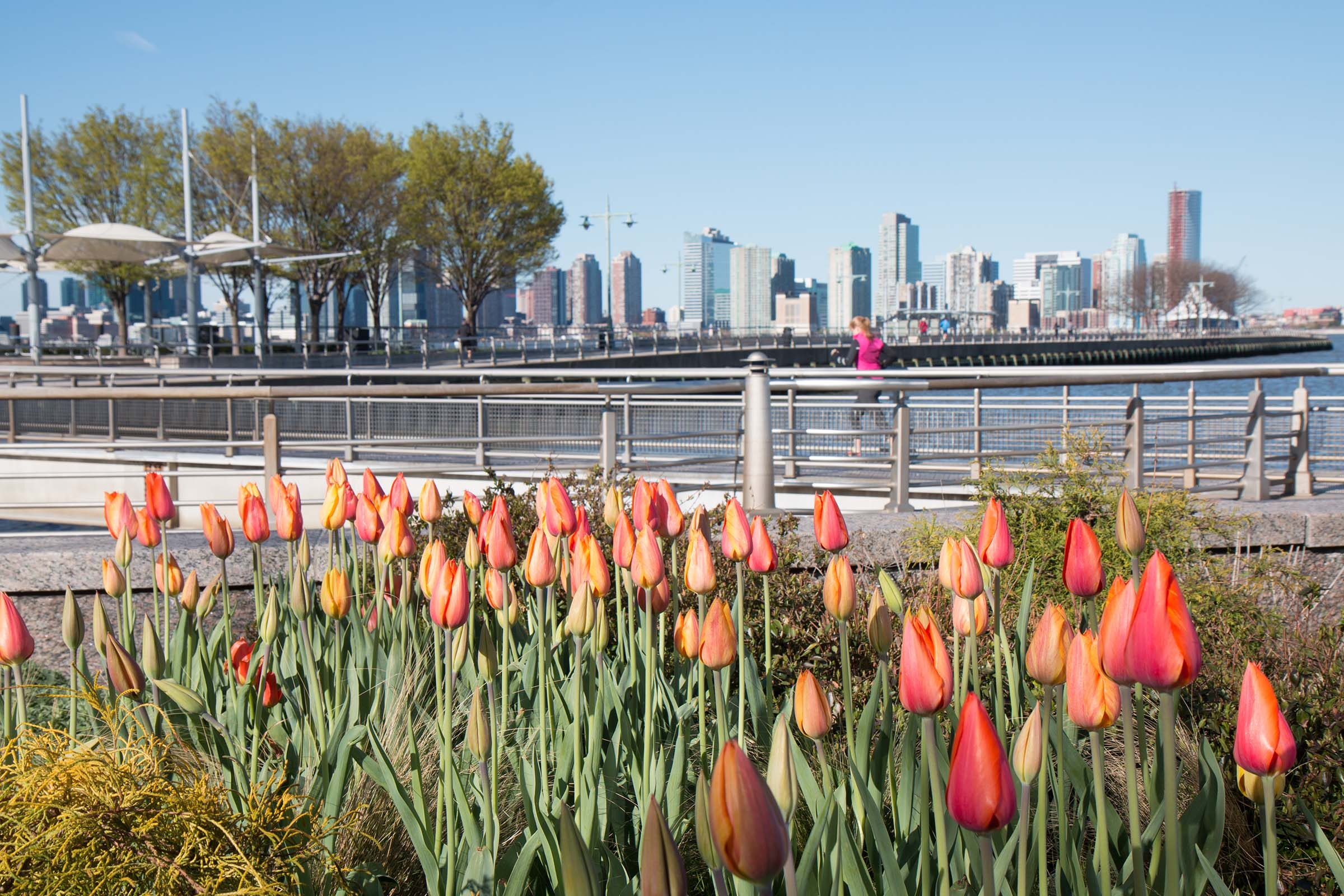 Orange tulips populate the west village gardens in Hudson River Park