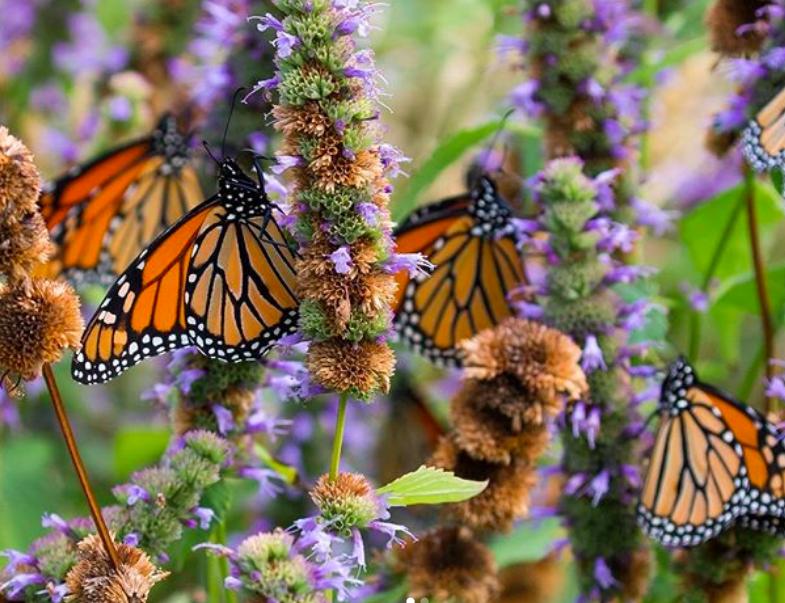 Four black and orange monarch butterflies perch on purple flowers