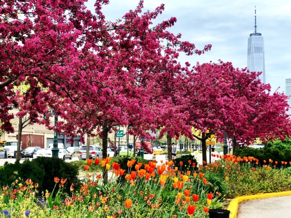Magenta crabapple blossoms add another layer of beauty near Pier 40