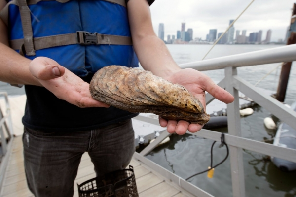 The largest oyster found within the last 100 years