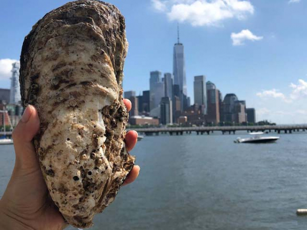 Big, the giant oyster that was found in the Hudson River