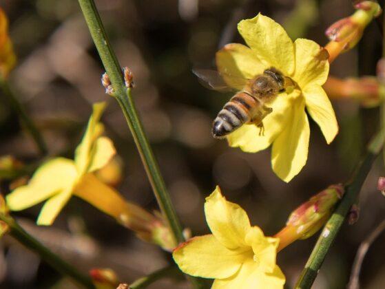 A bee peeks its head into the winter jasmine for nectar