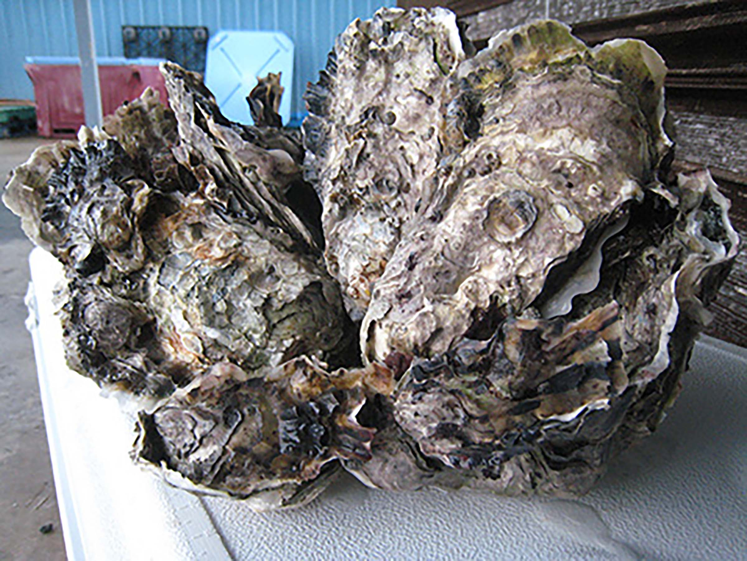 A giant oyster shell