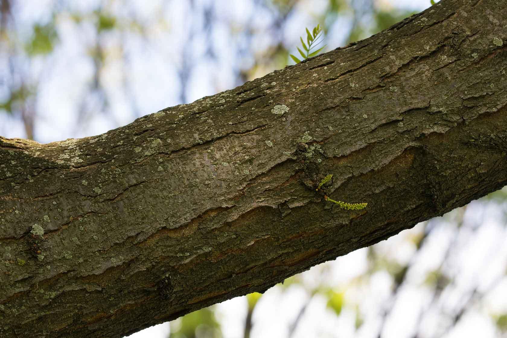 A branch on the honey locust tree