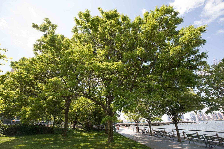 Honey Locust full of green leaves in Hudson River Park