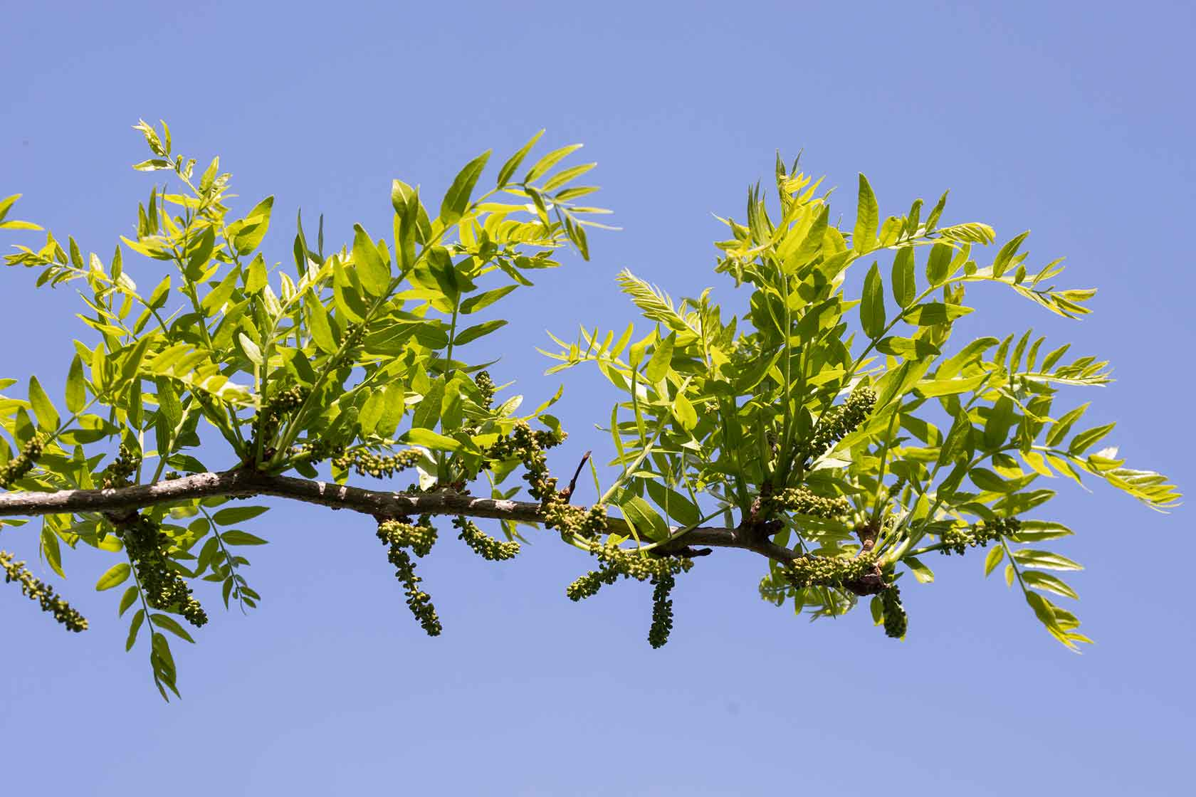 A branch of leaves on the honey locust trees