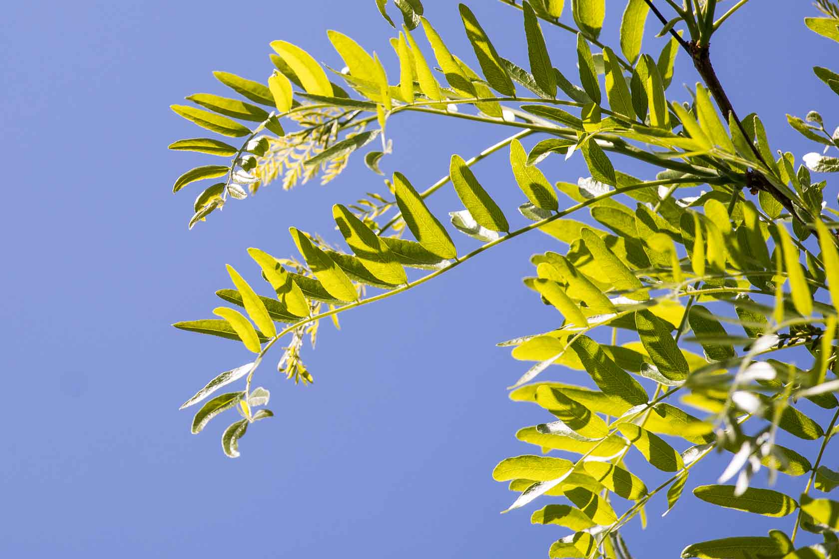 A closeup of the leaves on the honey locust trees in Hudson River Park