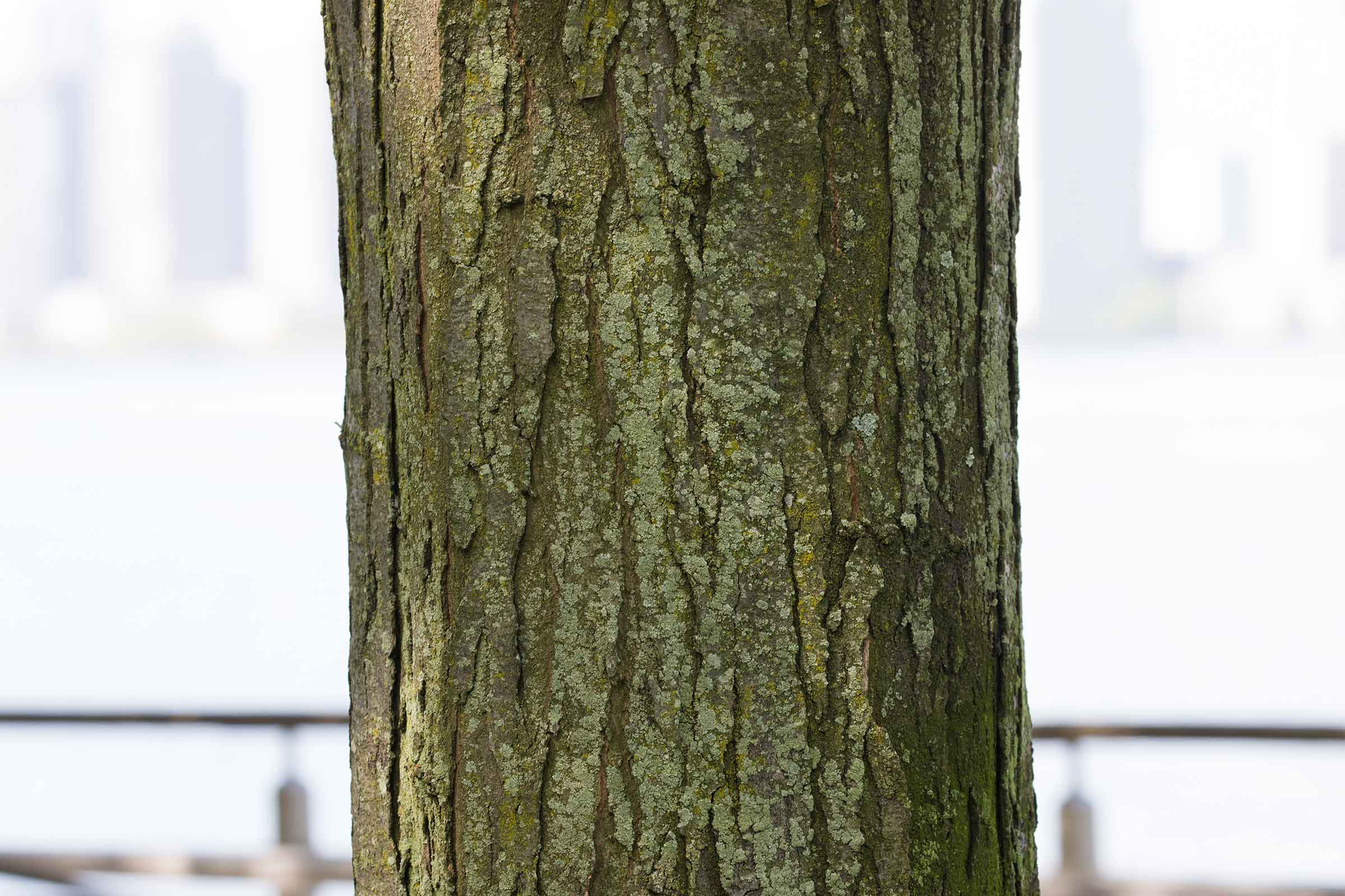 The mighty bark with notches on the trunk of the honey locust