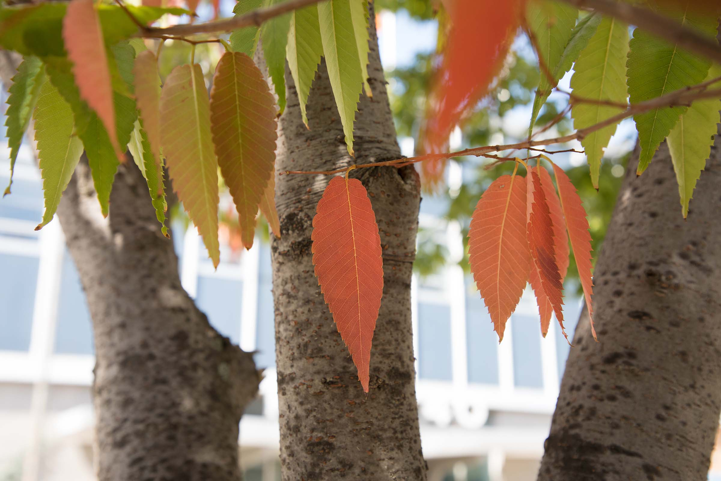 The Japanese Zelcova trees during the fall have a orange hue on the pointed leaves