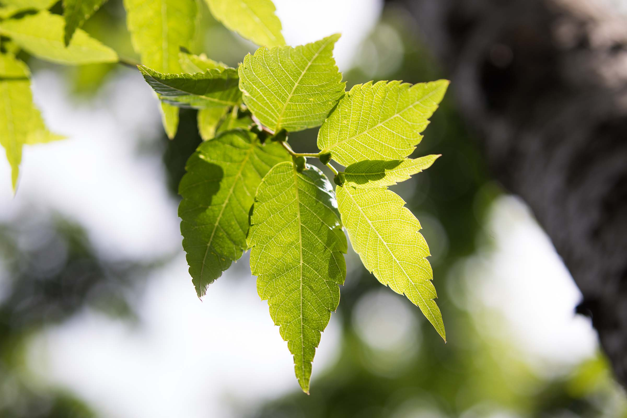 The green leaves on the Japanese Zelcova trees are pointed with jagged ridges around its sides
