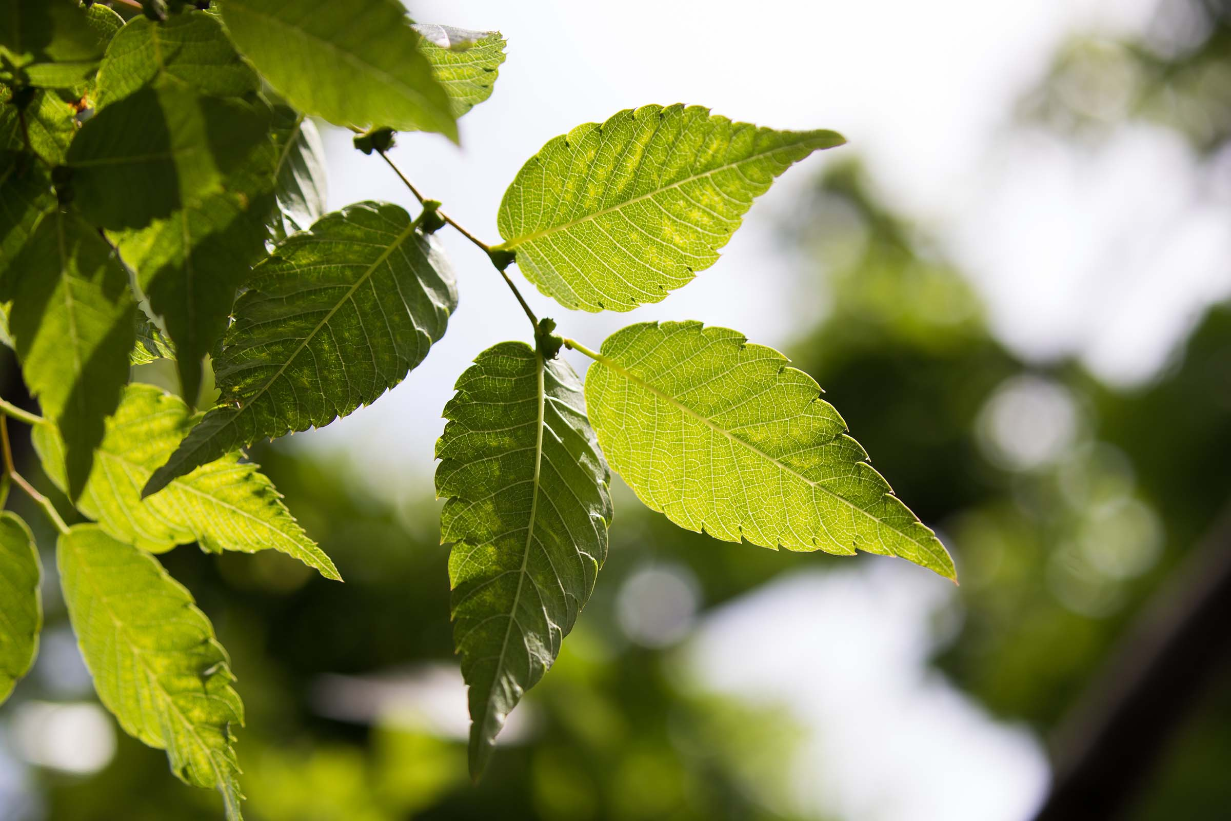 The wind blows the Japanese Zelcova tree leaves which are ridged and pointed