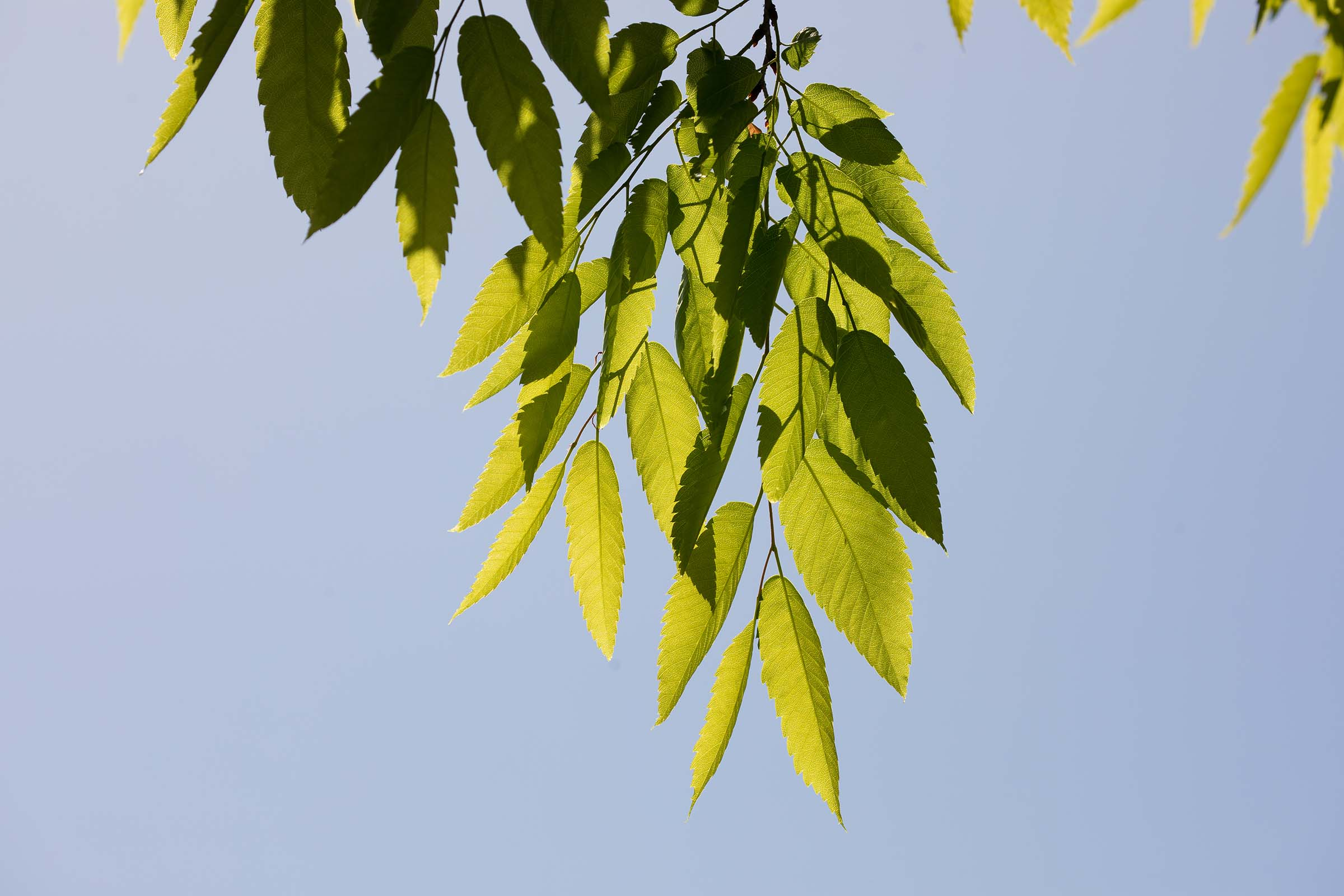 The green leaves of the Japanese Zelcova trees drape down when the wind stops