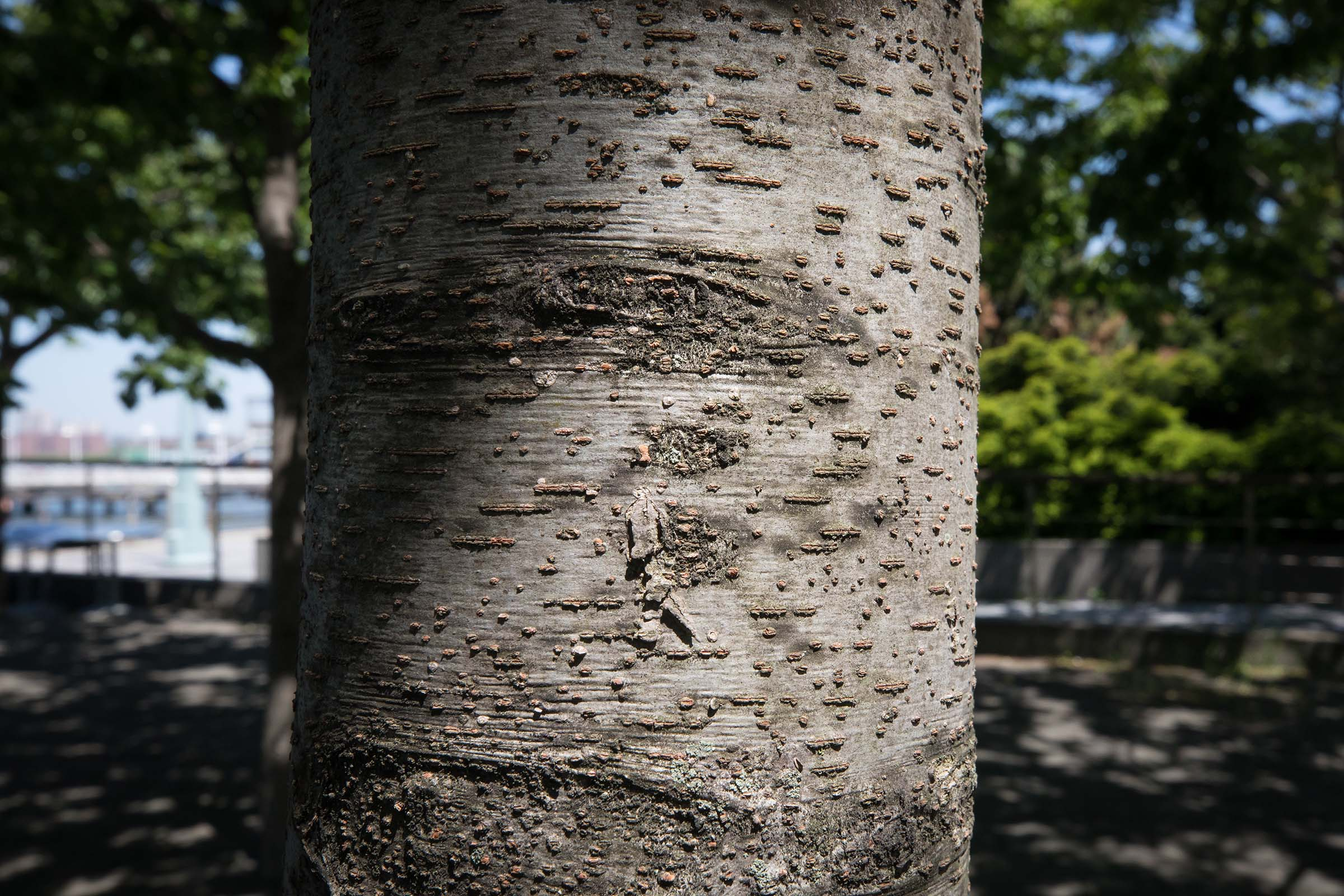 The bark on the trunk of the Japanese Zelcova trees are white and grey with spots