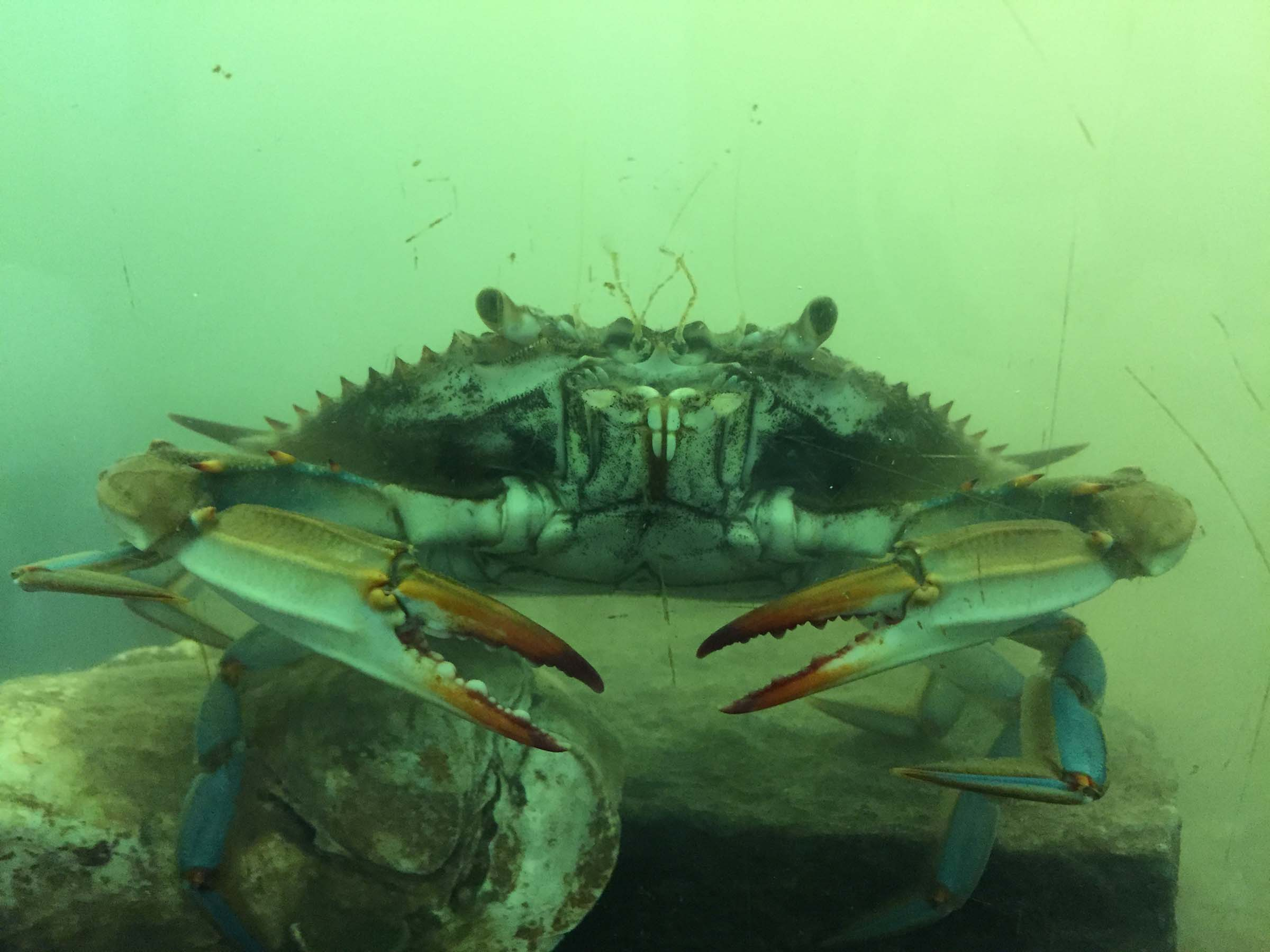 A blue crab with its red pinchers looks at the camera