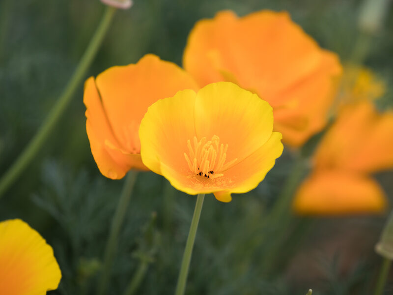 Yellowish Orange poppies