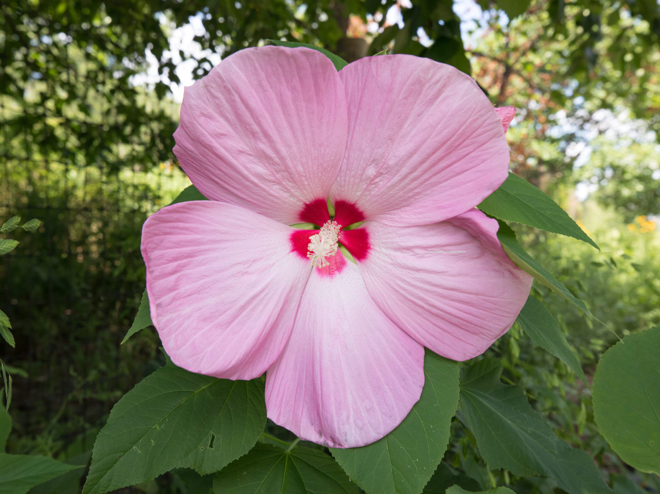A large pink hibiscus flower with a dark pink center in the habitat garden