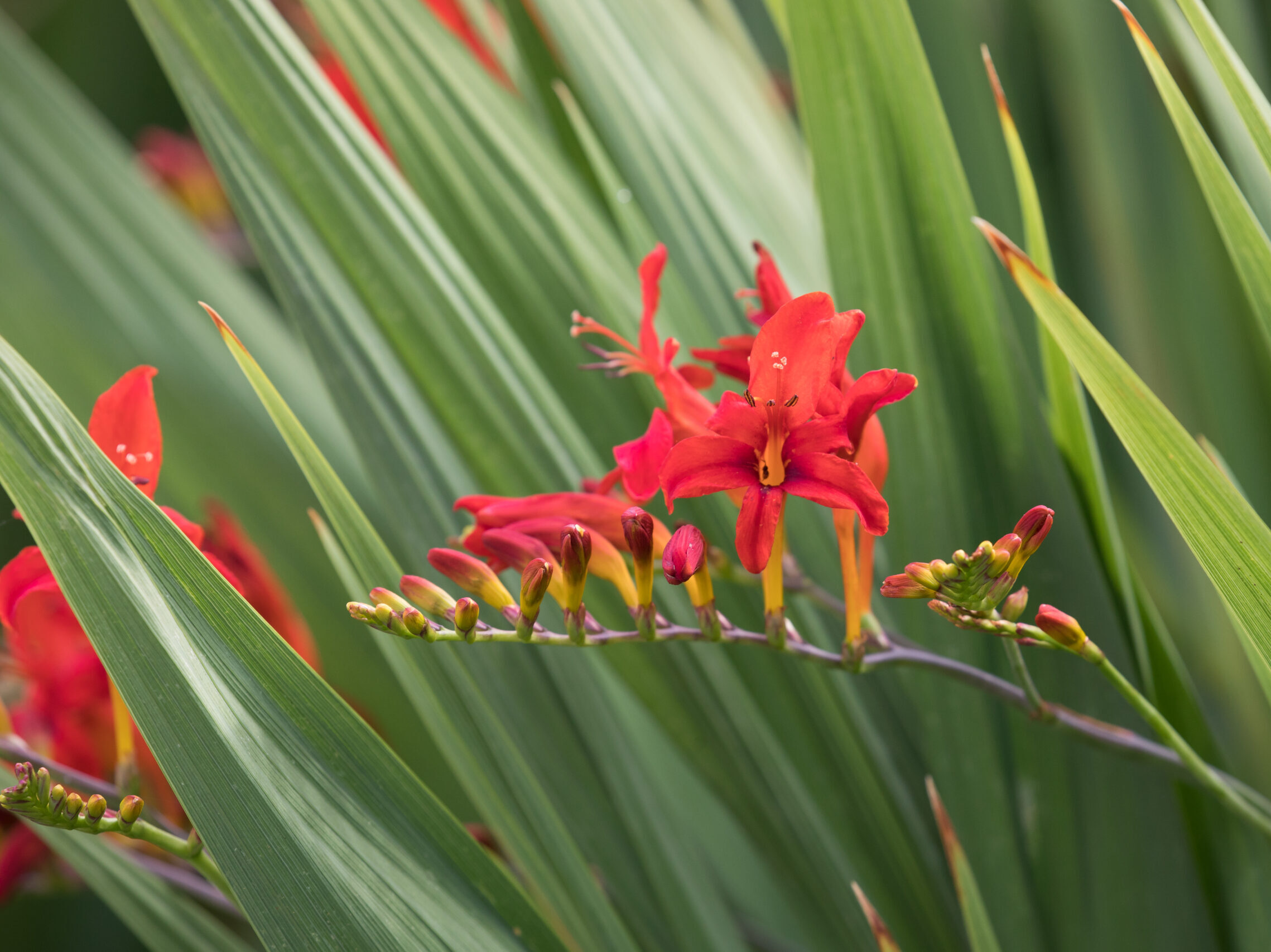 Red blooms on the Crocosmia Flowers