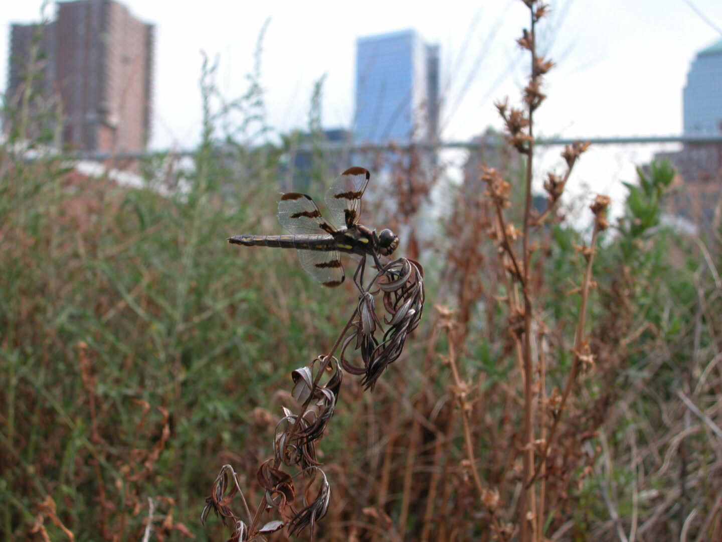 A large dragonfly perches on a stalk