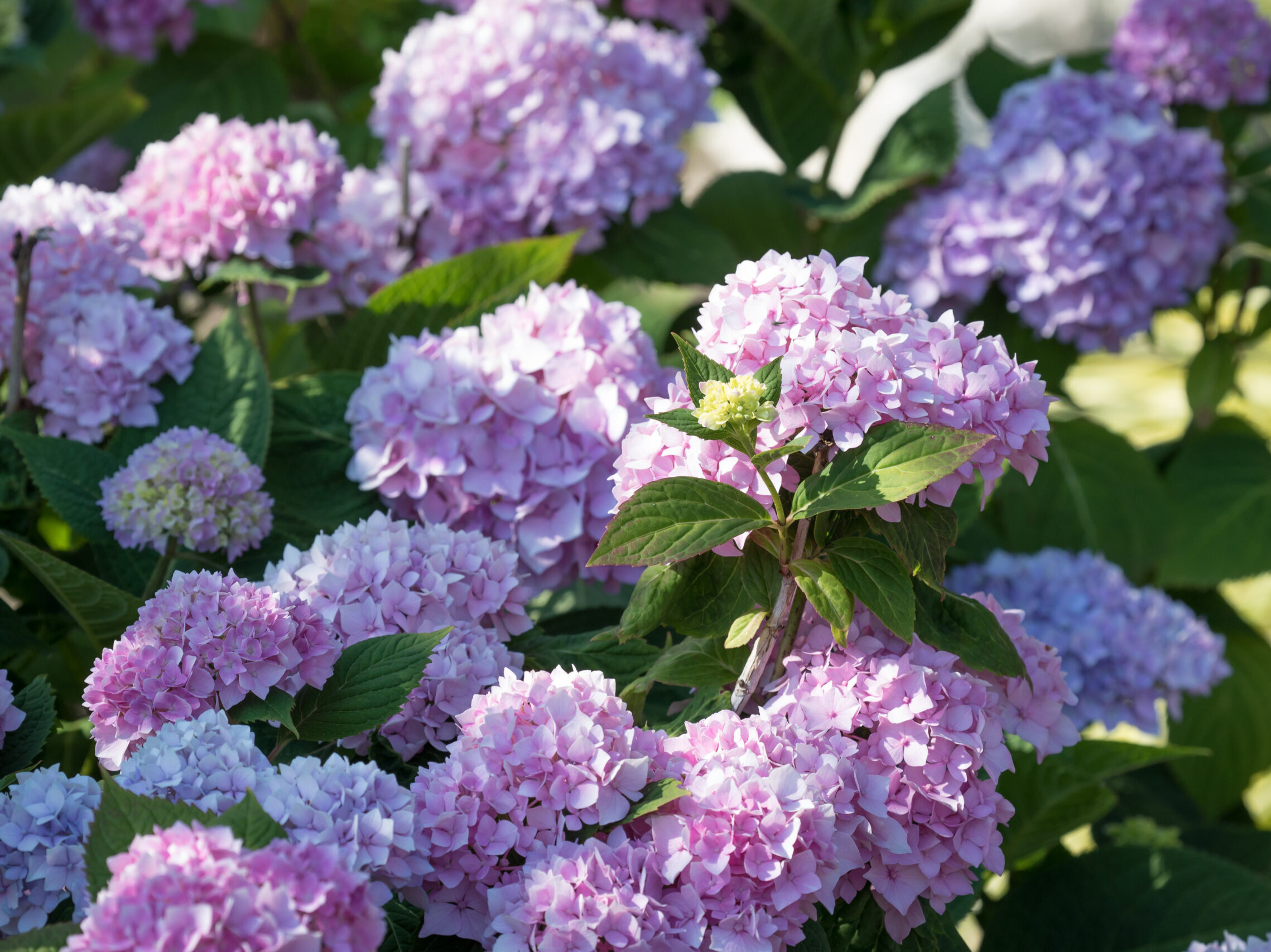 Pink and purple hydrangea flowers