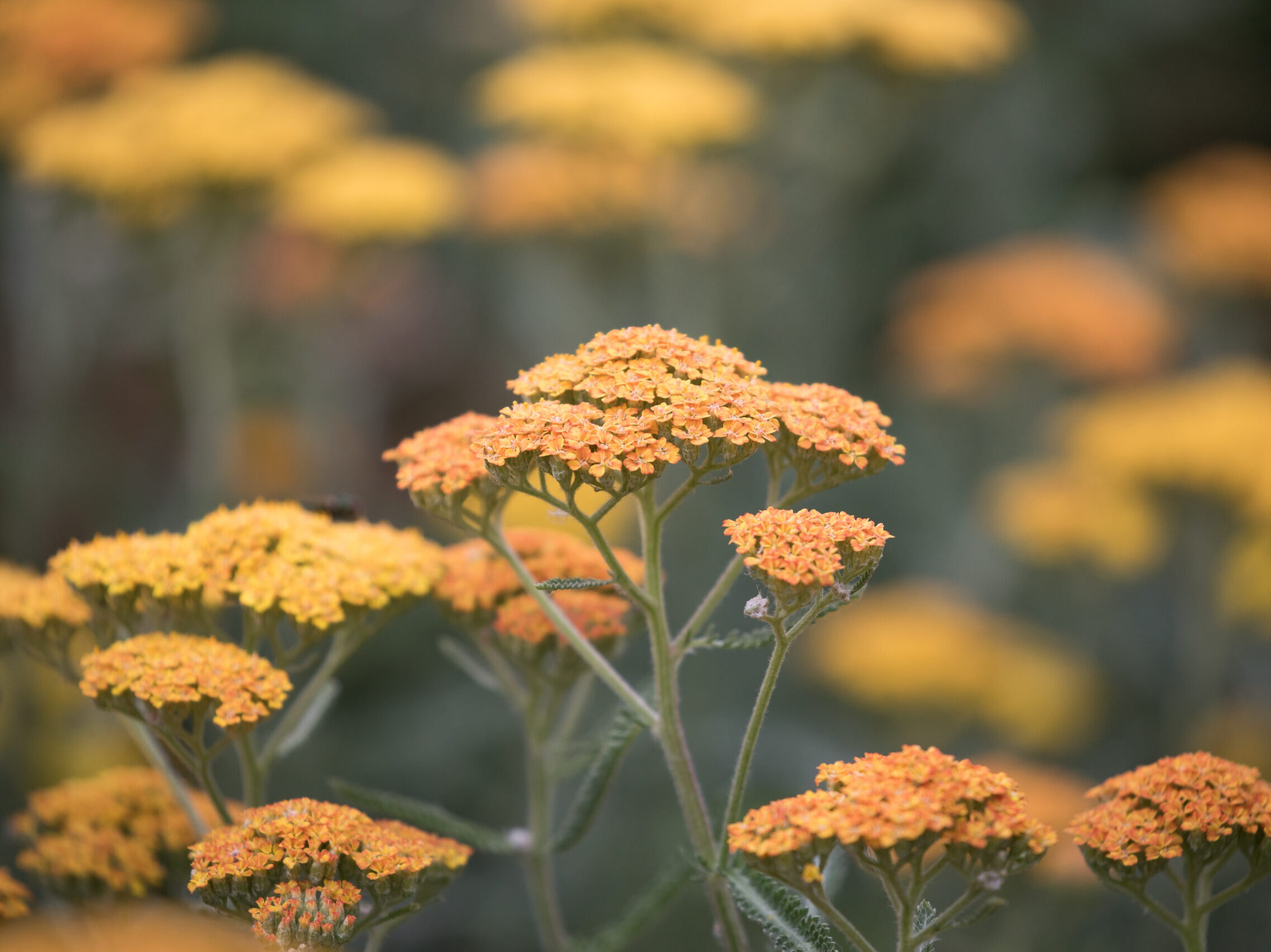 Orange achillea flowers