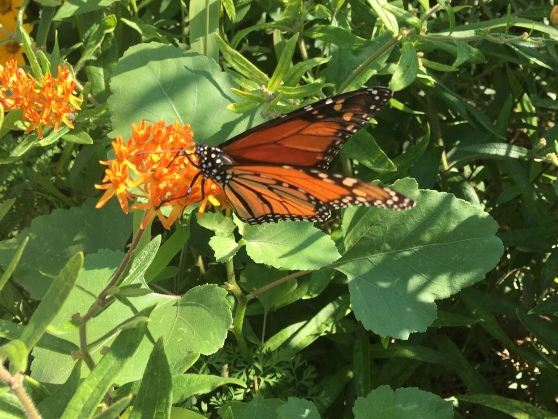 monarch butterfly on a orange flower