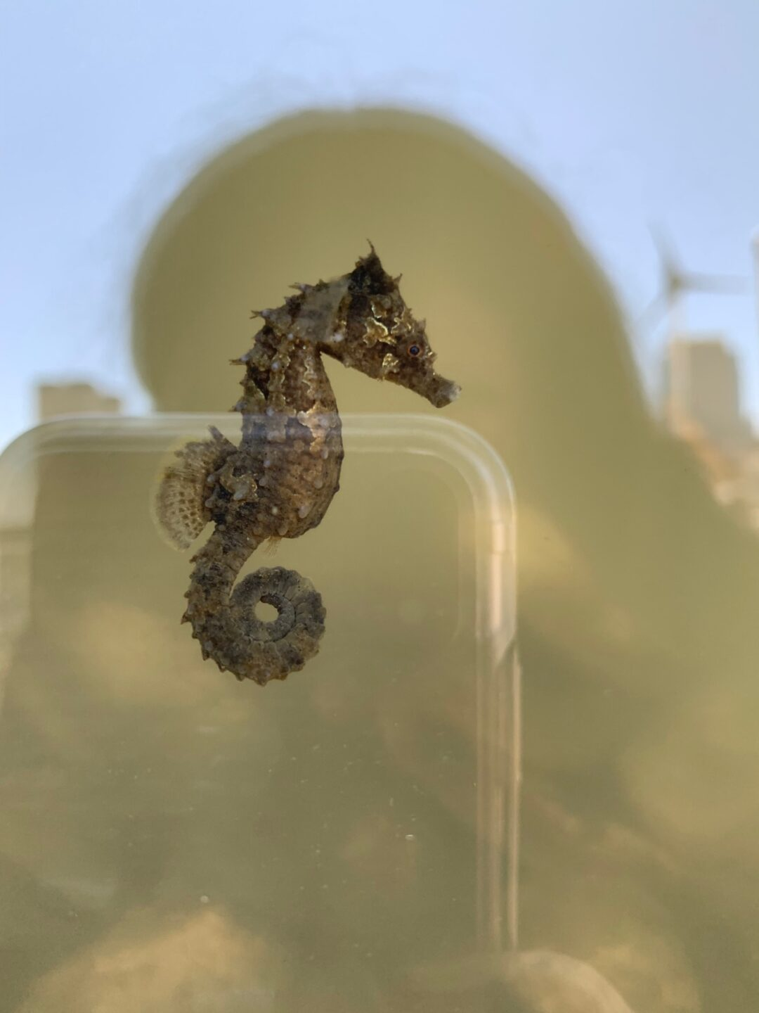 A close up view of the lined seahorse with its tail curled up