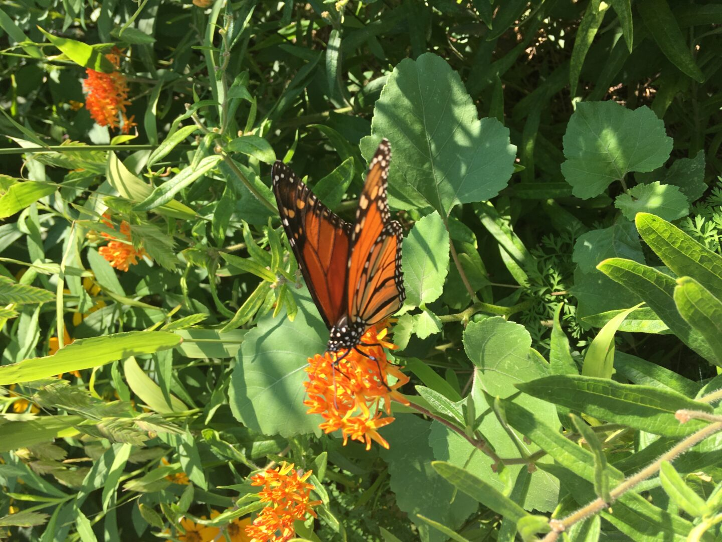 An orange and black monarch butterfly sits on an orange flower