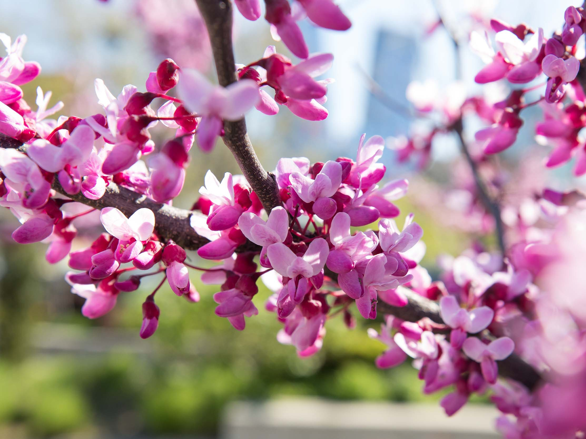 Red bud trees with pink flowers