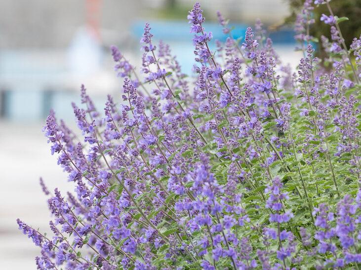 Purple catmint bush