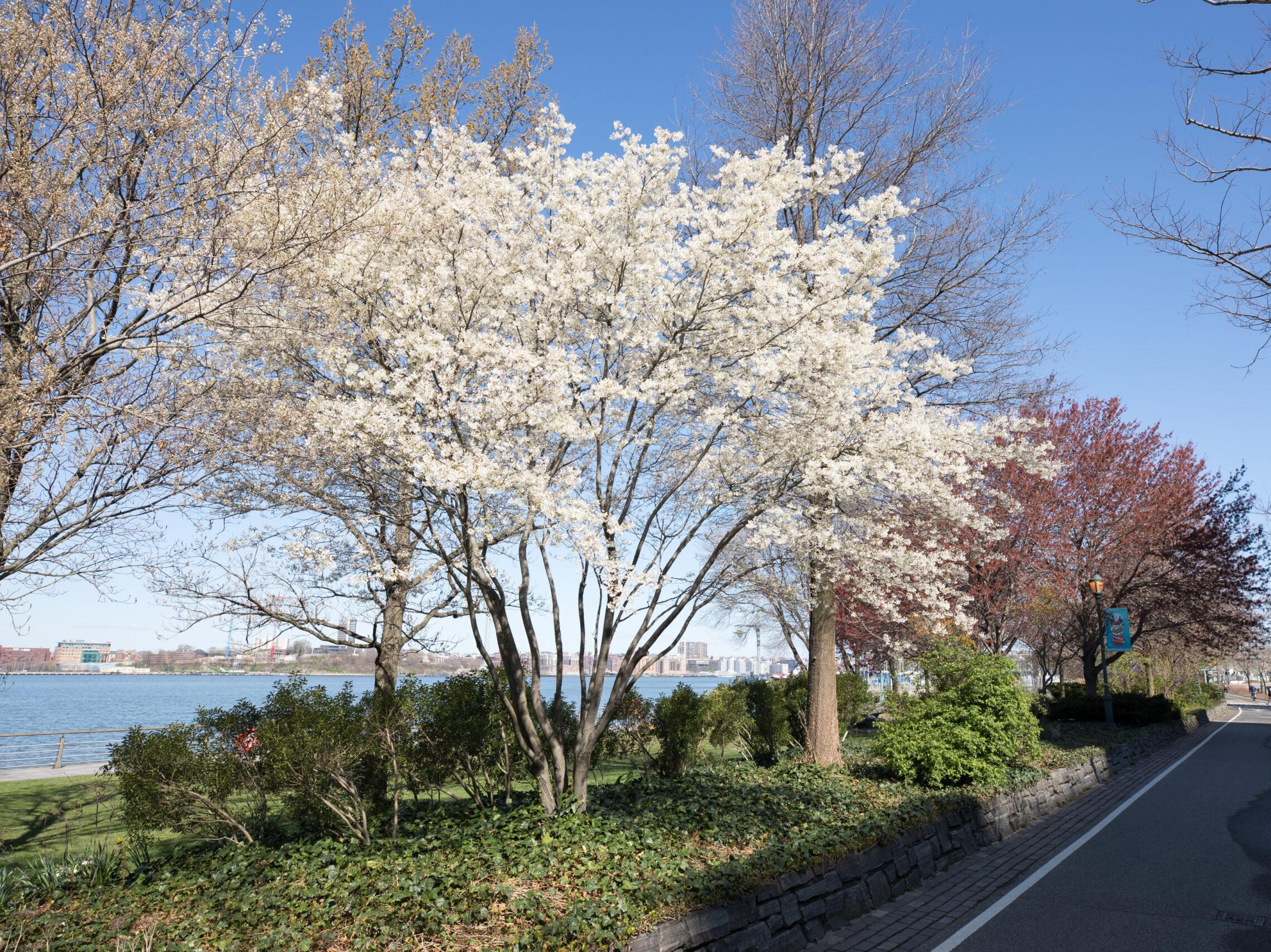White serviceberry blossoms