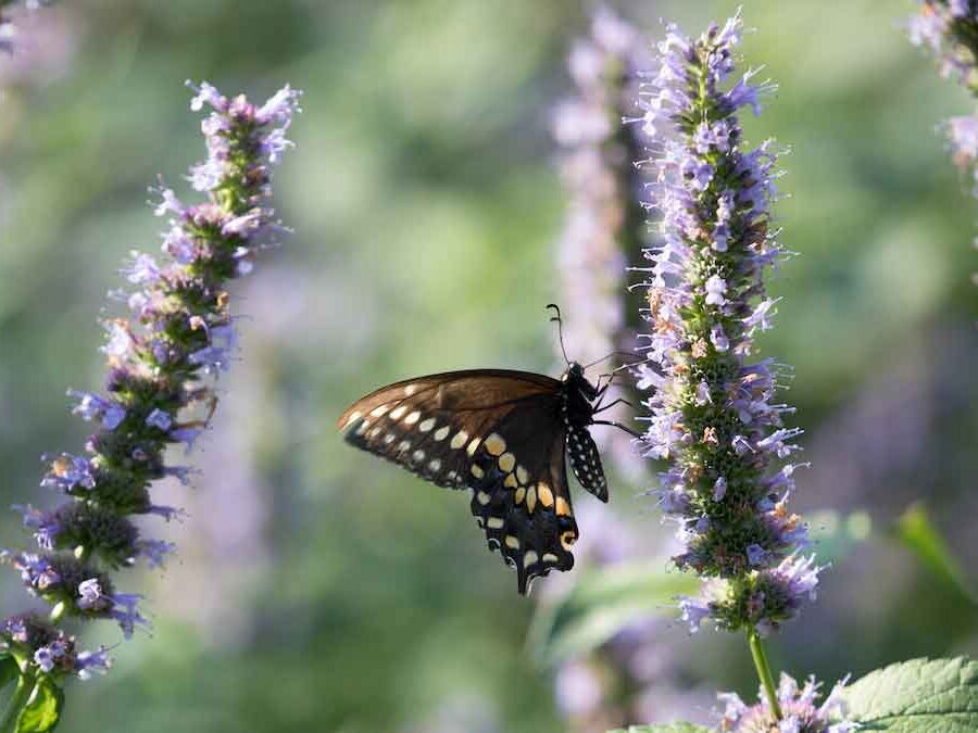 Purple sage and a butterfly