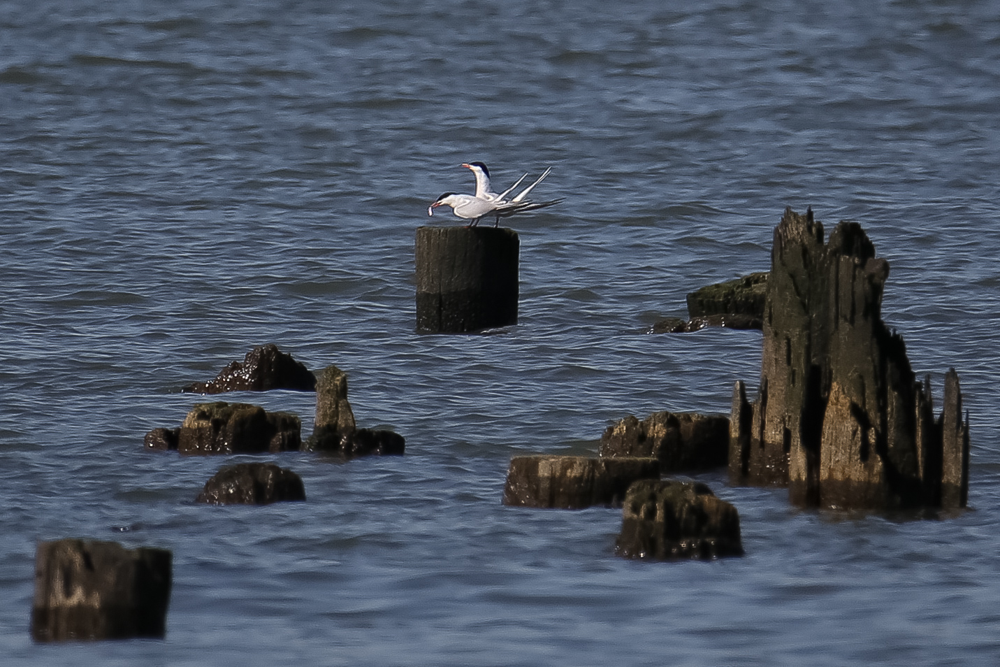 Two terns sit on a pile field