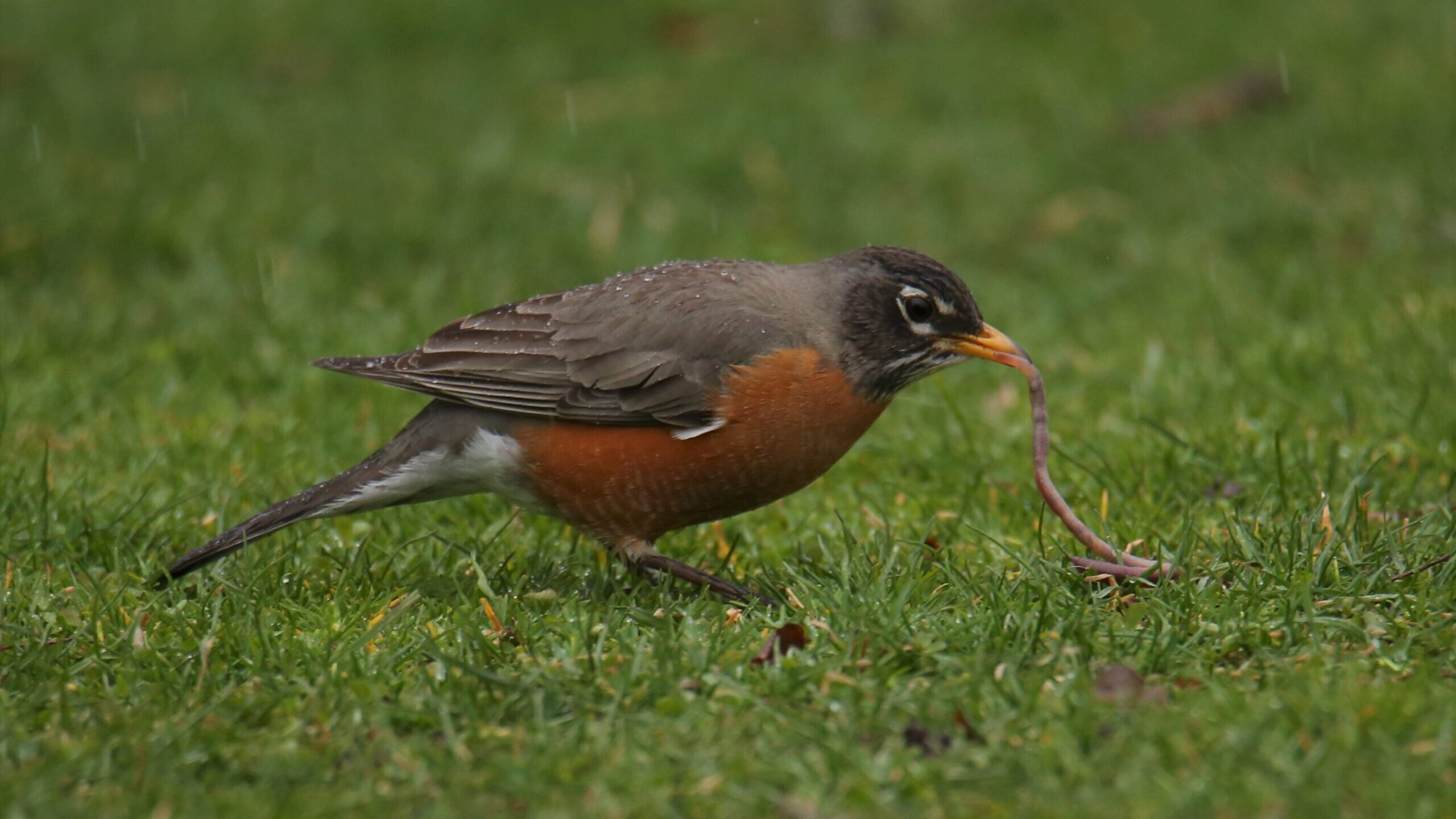 A red breasted robin pulls a worm from the ground