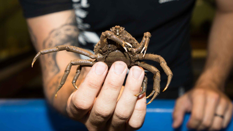 Spider crab in Wetlab