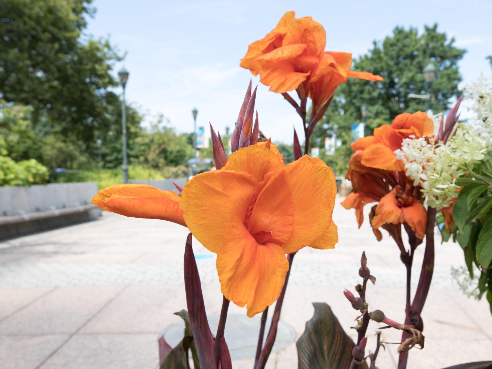 Orange Canna Lilies