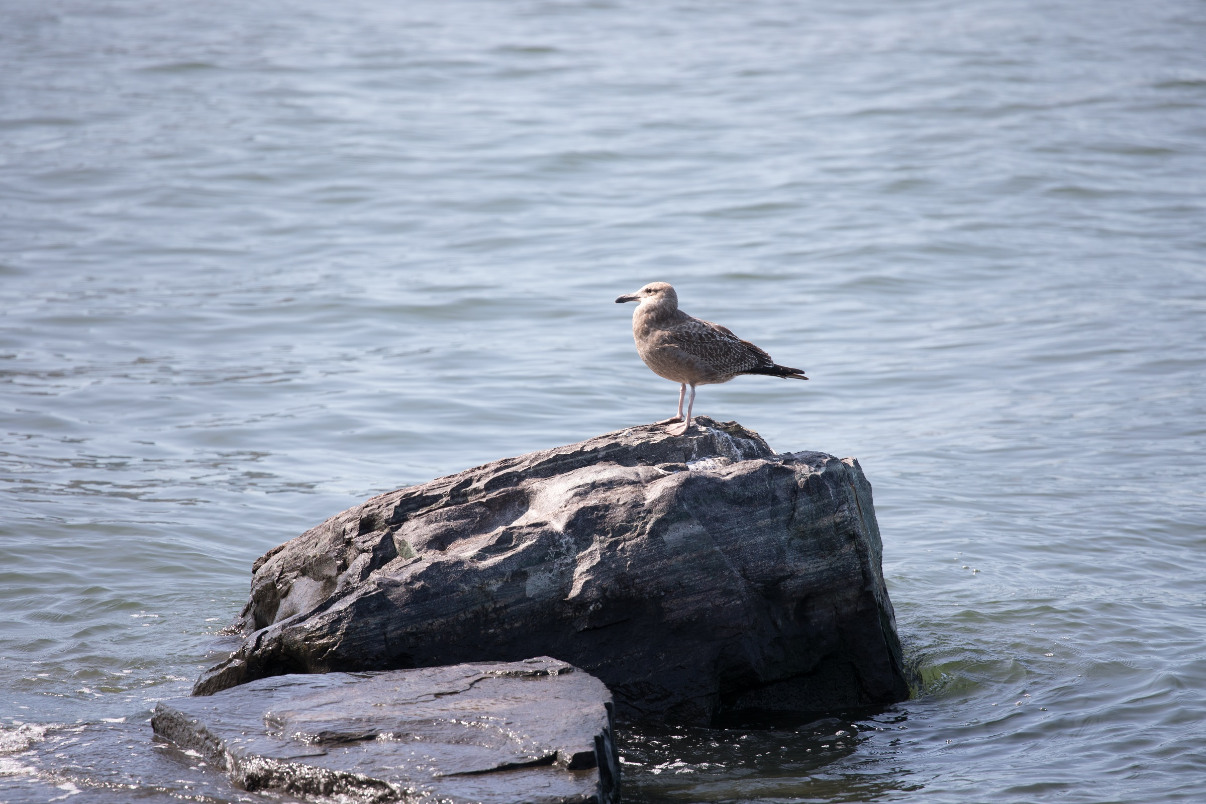 seagull sitting on a rock in the river at Hudson River Park