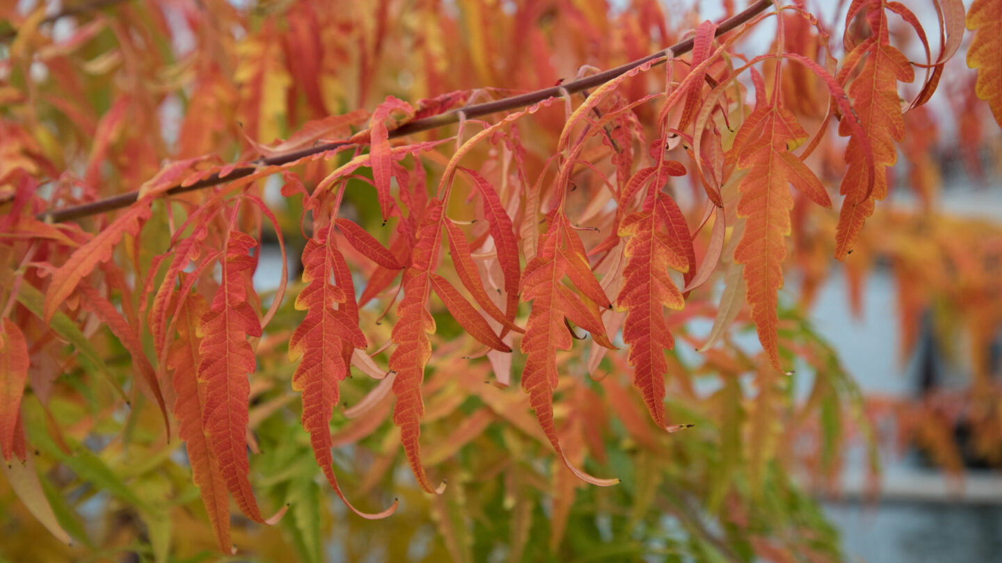 Fall Foliage 2020 Staghorn Sumac Parkwide