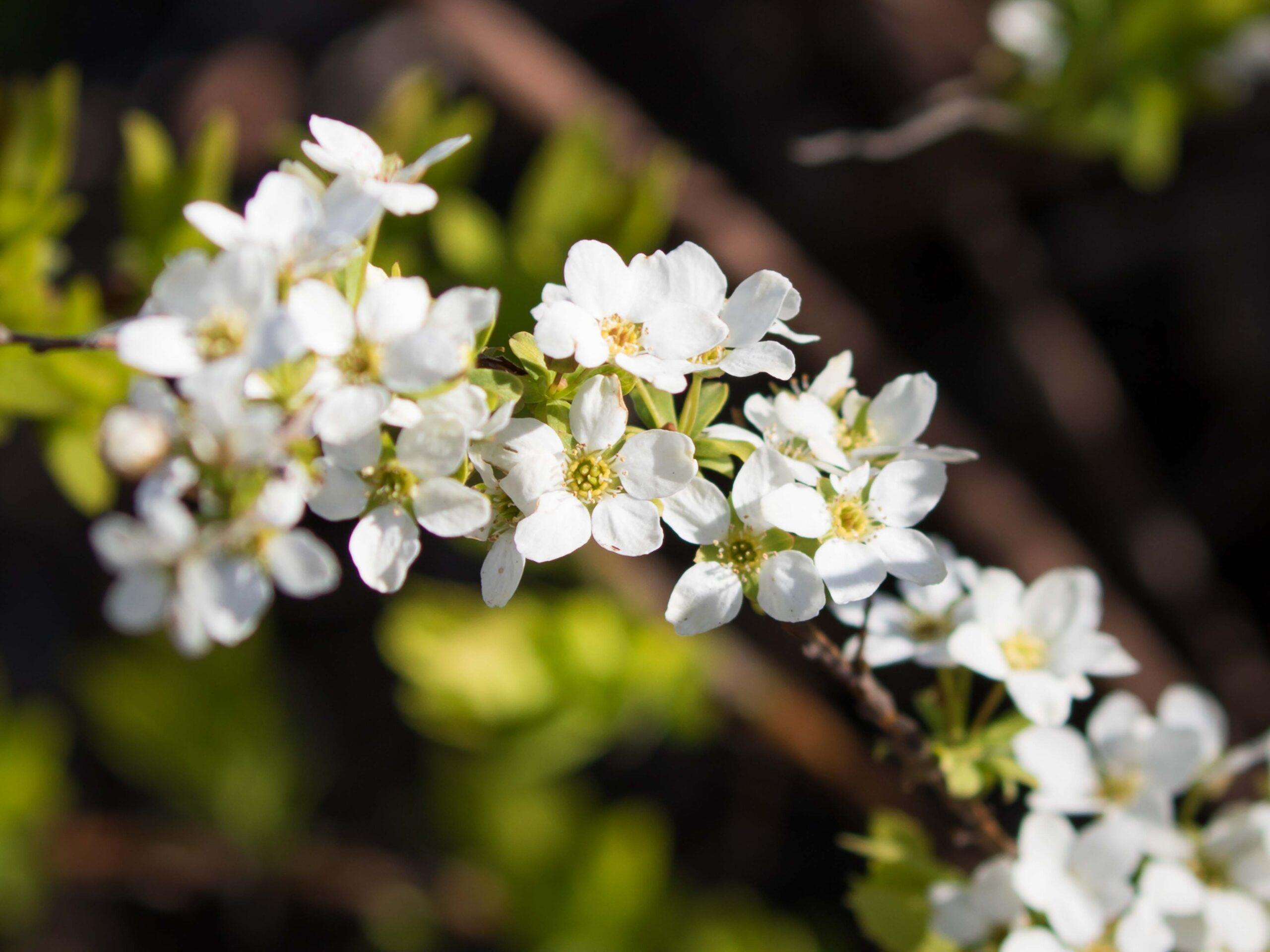 Spirea White Blossoms