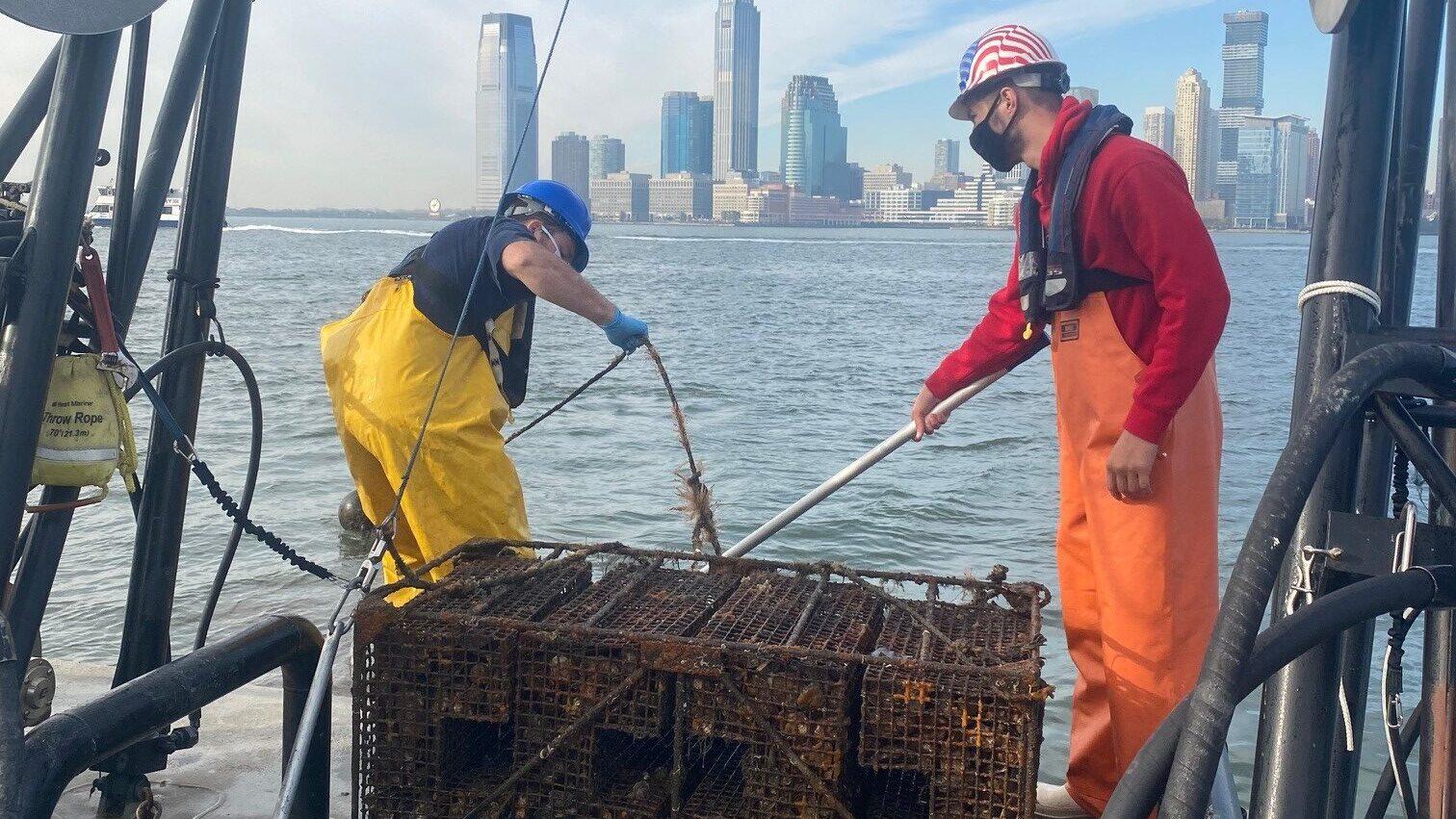 Tribeca oyster restoration of the Tribeca Habitat Enhancement Project