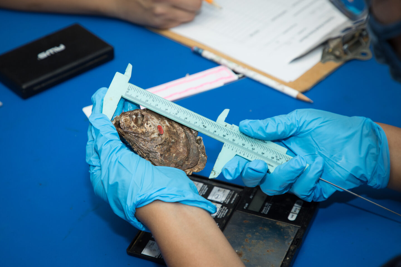 shellebrate oyster measurement