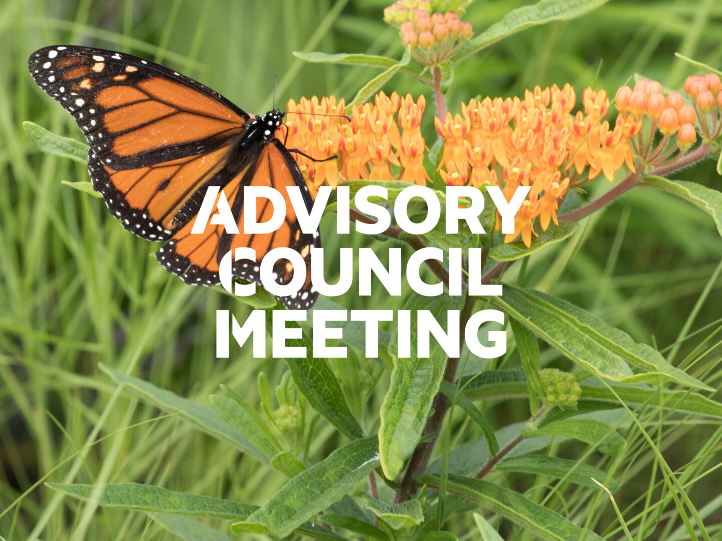 """photo of Monarch perched on orange Butterfly Weed plant has text that reads """"Advisory Council Meeting"""""""