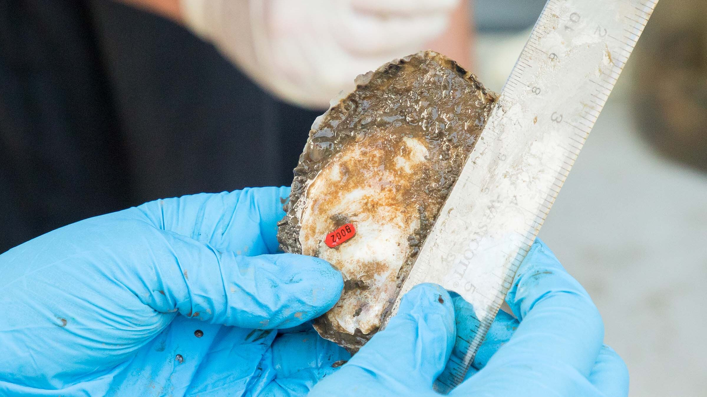 Hudson River Park educator measures an oyster