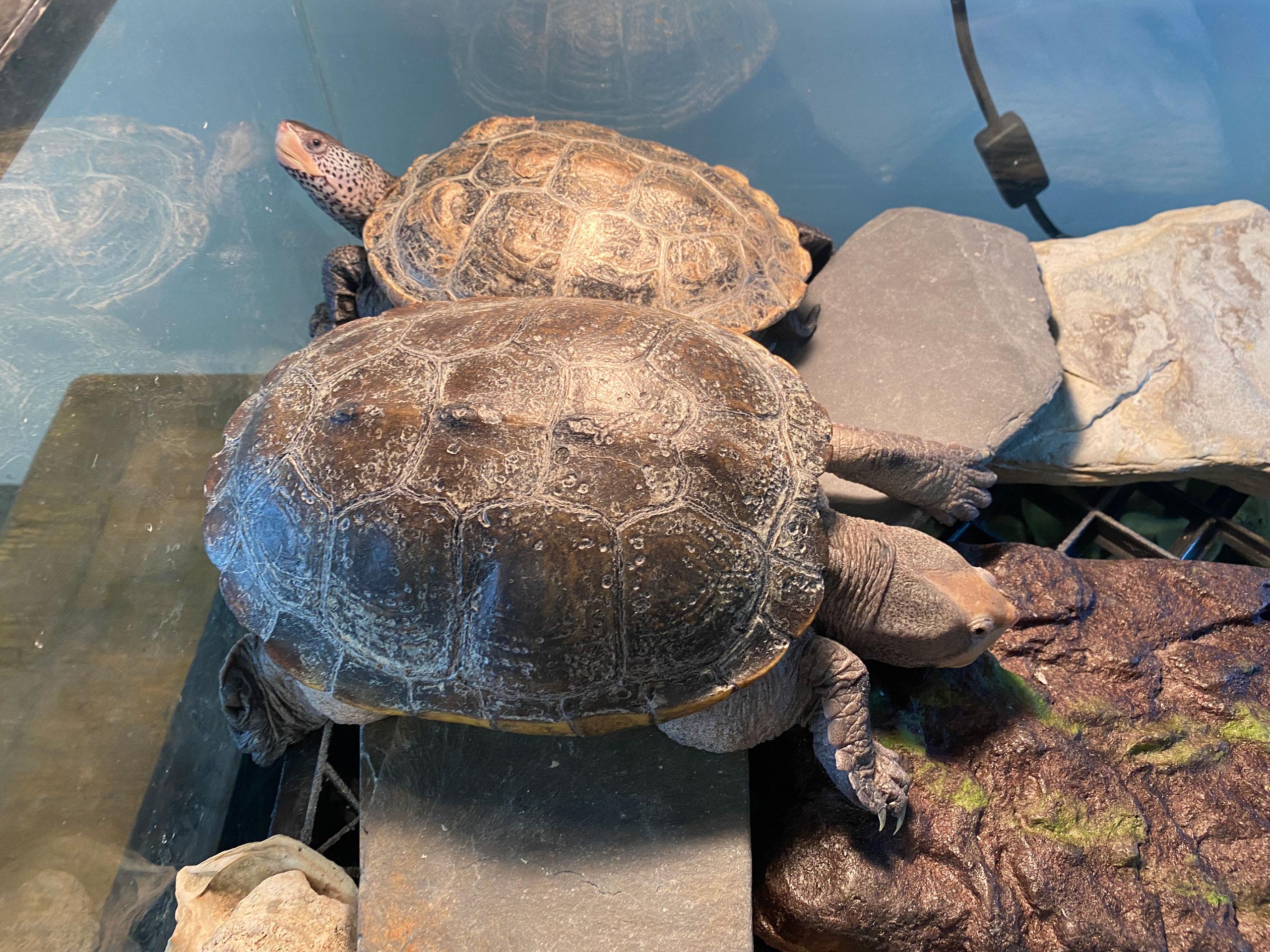 Terrapin turtles crawl around on rocks in their tank at Hudson River Park SUBMERGE