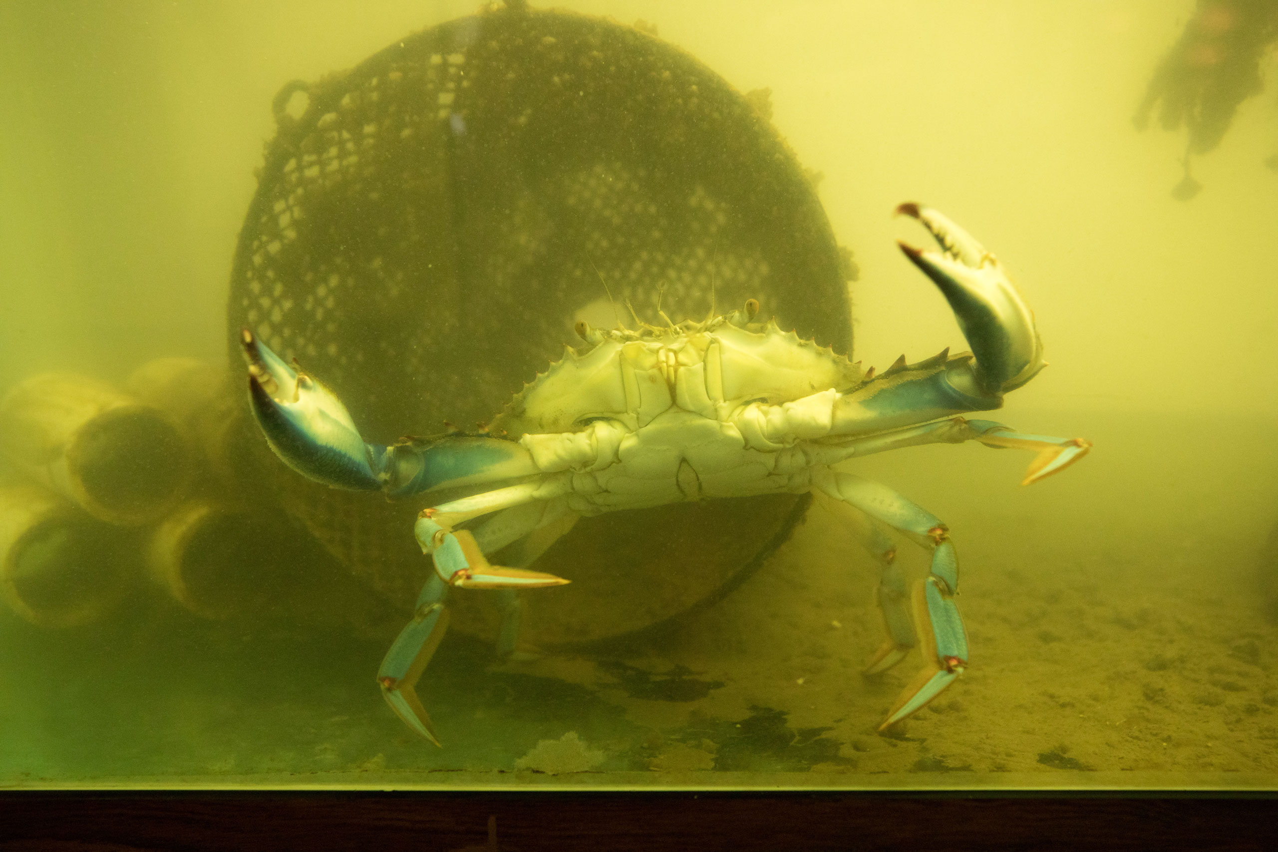 Blue crab swimming with raised claws in Wetlab tank at Hudson River Park SUBMERGE